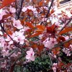 cherryplumfoto