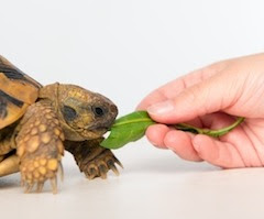 turtle eating a green leaf